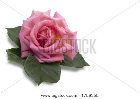 Pink Rose With Copy Space On White Background (Isolation With Clipping Path)