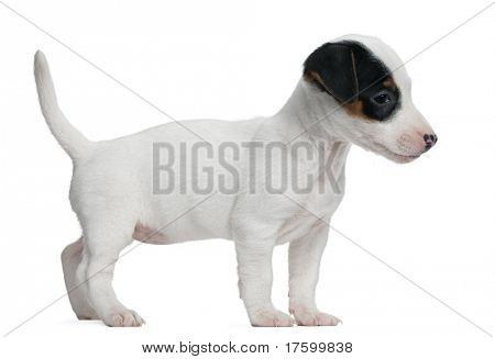 Jack Russell Terrier puppy, 7 weeks old, standing in front of white background