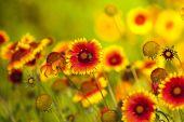 Постер, плакат: Желтый и красный цветок в саду сиял на солнце