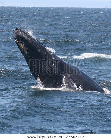 A Lunging Humpback Whale