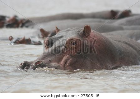 African Hippo lounging in a river