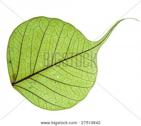 Leaf of the Bodhi tree , macro  isolated on white