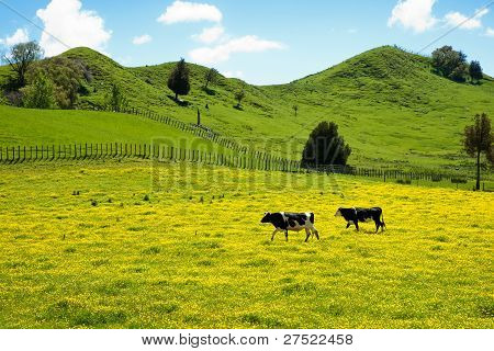 Two cows crossing yellow meadow.