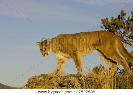 Cougar walks down a hillside in Montana