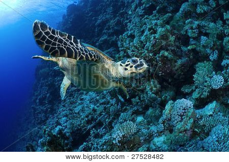 Sea turtle checking the reef