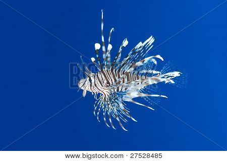 Lion fish over blue background