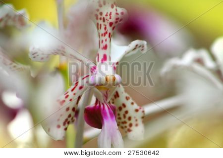 A white orchid flower with pink dots close up shot