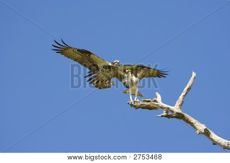 The Male Osprey Approaches The Female To Mate