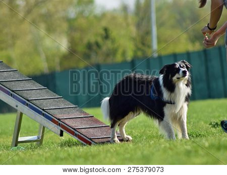 Dog Border Collie In Agility