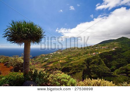 view over the west coast of La Palma, dragon tree in foreground