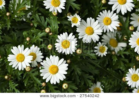 marguerite blossoms view from above