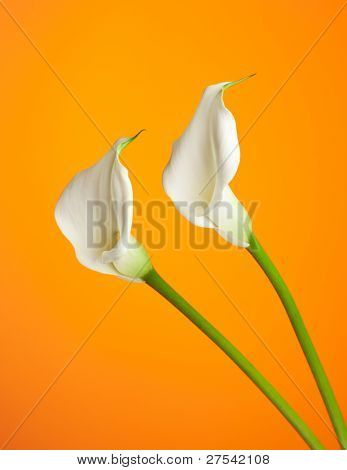 two white calla lilies on orange background
