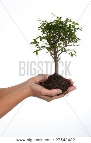 Woman's hands cradling a bonsai tree, isolated on white. Concept: new life