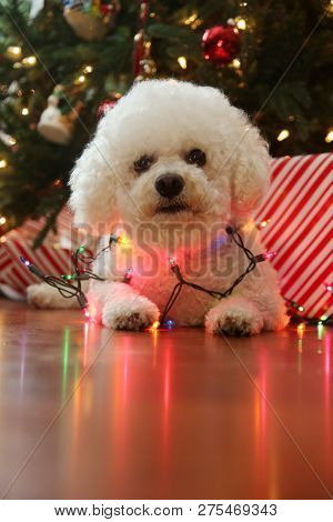 poster of Christmas Dog. Bichon Frise Dog. Bichon Frise dog. Bichon Dog with Christmas lights. room for text o