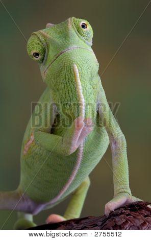 Waving Chameleon