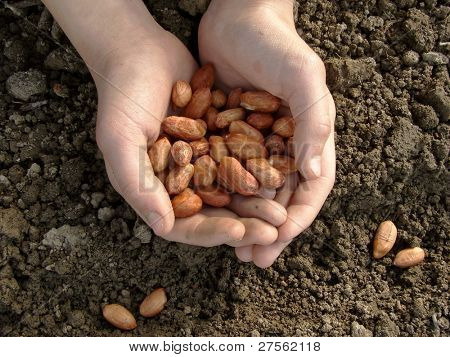 hand with peanut seeds ready to sowing