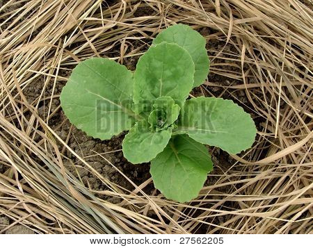 Chinese cabbage seedling growing among dry grass mulch