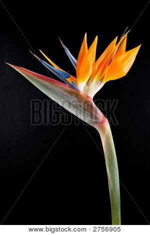 Bird Or Paradise On A Black Background