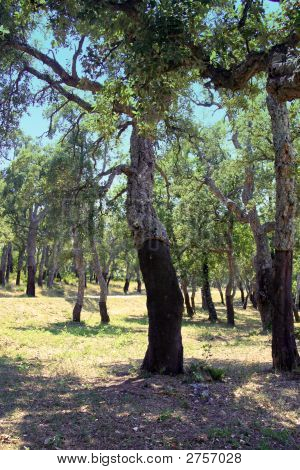 Stripped Cork Oaks