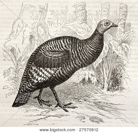 Ocellated Turkey old illustration (Meleagris ocellata). Created by Kretschmer and Jahrmargt, published on Merveilles de la Nature, Bailliere et fils, Paris, ca. 1878