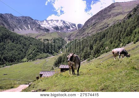 Grazing cows in the mountains