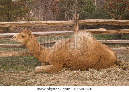 Mt. Vernon Christmas Camel