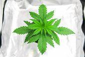 Growing Marijuana At Home Indoor. Vegetation Of Cannabis Growing. Cannabis Plant Growing. Marijuana  poster