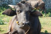 stock photo of carabao  - relaxing carabao a farm animal in the Philippines