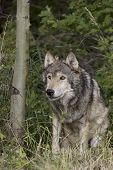 image of north american gray wolf  - Male Wolf emerges from the Montana woods - JPG