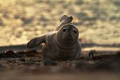 Seal Lying On The Beach In Dune, Helgoland In Germany, Seal In Last Light Of The Day, Sunset On The  poster