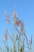 Flower Of Grass Sway, Beautiful Grass Flower On Blue Sky Clear Background, Grass Flower In Nature (s poster