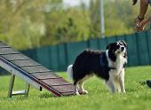 Dog, Border Collie In Agility In Zone Dog, Border Collie In Agility. Amazing Evening, Hurdle Having  poster