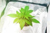 Cultivation Growing Under Led Light. Vegetation Of Cannabis Growing. Cannabis Plant Growing. Growing poster