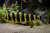 A Banded Leporinus Against A Background Of Bogwood And Plants In Aquarium poster