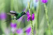 Green Thorntail, Hovering Next To Violet Flower In Garden, Bird From Mountain Tropical Forest, Costa poster