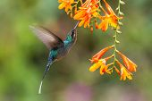 Green Hermit, Hovering Next To Orange Flower, Bird From Mountain Tropical Forest, Costa Rica, Beauti poster