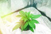Marijuana In Grow Box  Tent. Growing Marijuana At Home Indoor. Close Up. Cannabis Plant Growing. Cul poster