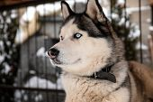 Beautiful Husky Dog In Outdoor Pet Enclosure On Snowy Day poster