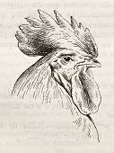 foto of dork  - Dorking chicken head old illustration - JPG