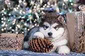 Puppy New Years puppy Alaskan Malamute, Christmas dog poster