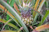 Single Fresh Pineapple Ananas Fruit Growing On The Bush With Leaves poster