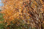 stock photo of crepe myrtle  - An orange Crepe Myrtle tree in an autumn - JPG