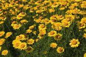 Flowerbed Of Yellow Daisies In The Summertime poster