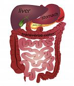 stock photo of small-intestine  - Gastrointestinal tract - JPG