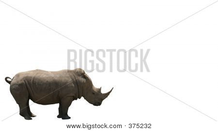 White Rhinos Isolated