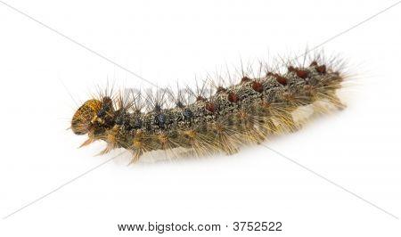Gypsy Moth Caterpillar Lymantria Dispar