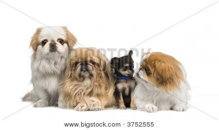 Três Pekingeses e um Chihuahua