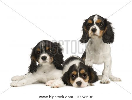 Puppies Cavalier King Charles Spaniel (3 Months)