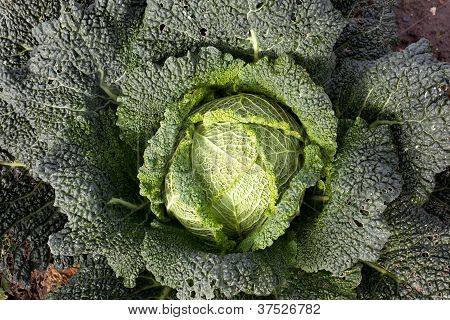 green cabbage in the garden