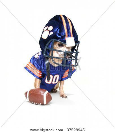 a tiny chihuahua in a football uniform